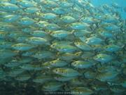 Bali-Dive-026